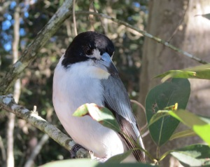 Grey Butcherbird - 15 May 2015