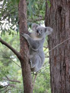 Koala - 3 May 2015