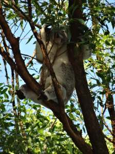 Koala - Fox Gully - 28 Mar 2015 - J Fox