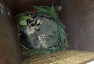 Squirrel Glider - 25 Apr 2015