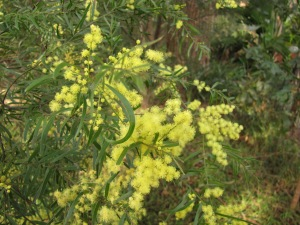 Acacia fimbriata - flower - 5 Aug 10