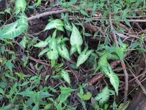 Arrowhead Vine Syngonium podophyllum - 19 June 2015 - Roly Chapman