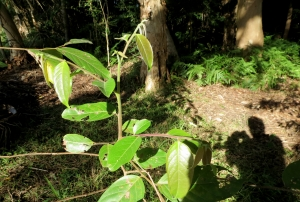 Cheese Tree - regrowth - 19 June 2015 - Roly Chapman