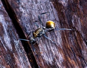Golden-tailed Spiny Ant - 22 July 2014 - Alan Moore - close