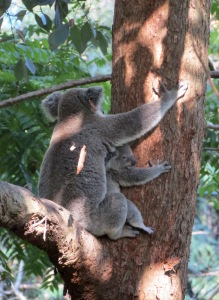 Koala & Joey - Fox Gully 3 - 4 Jan 2014 close