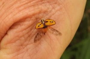 Ladybird Coelophora inaequalis - wings - 16 Oct 2015