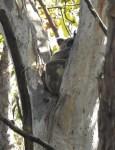Koala – Gertrude Petty Place – 23 Nov 2015lowres