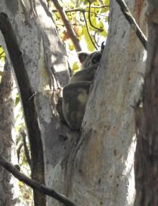 Koala - Gertrude Petty Place - 23 Nov 2015 lowres