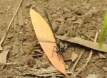 Common Flatwing Austroargiolestes icteromelas – 15 Dec2015