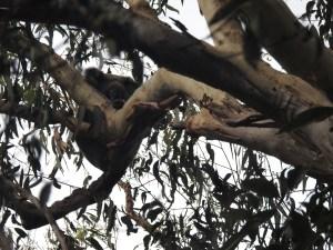 Koala 13 Nov 2015