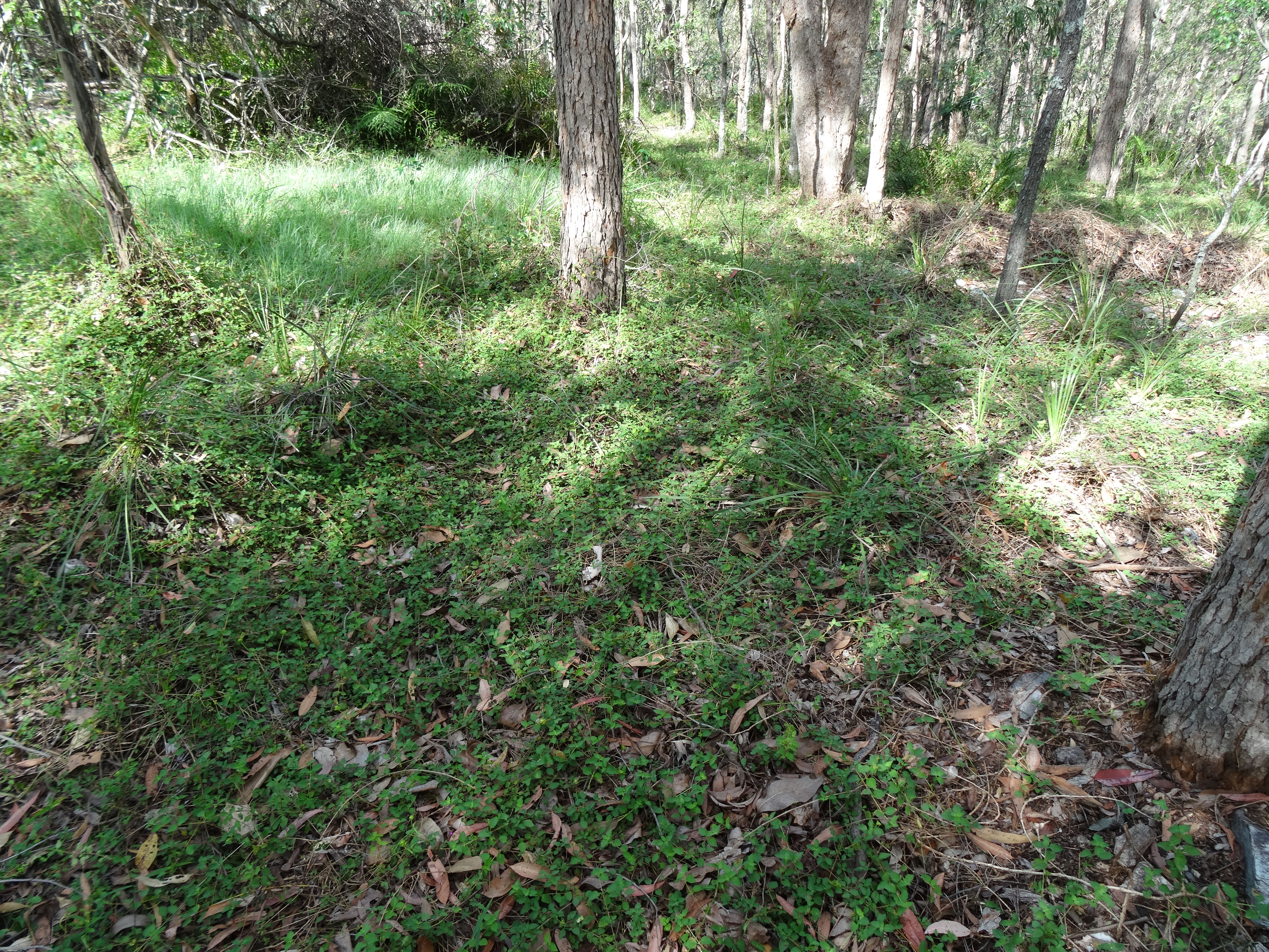 Tallowwood Eucalyptus Microcorys