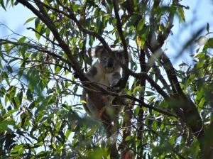 Koala - Phascolarctos cinereus - 23 Apr 2016