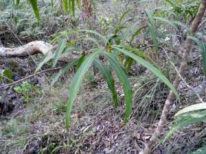 Mock-olive - Notelaea longifolia - Tree - 23 May 2016