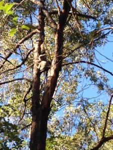 Koala 8 June 2016