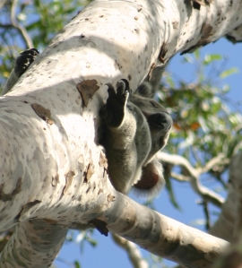 Koala - Upper Ekibin Creek - Pieter D. 9 April 2016 close