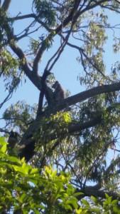 Koala - Vittal - 17 April 2016