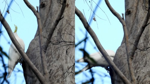 Sulphur-creasted Cockatoo - clearing hollow - 30 June 2016