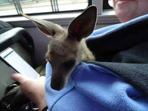 Kangaroo on a bus - 31 Aug 2016 lowres