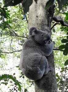 Koala - 50 O'Grady - 201 Aug 2016