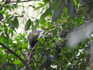 Koala male - 50 O'Grady - 201 Aug 2016 low res