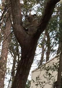 koala-sue-j-27-oct-2016