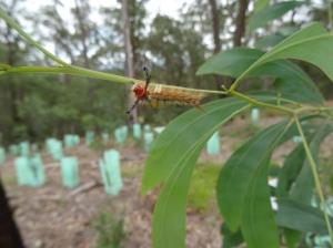 painted-pine-moth-orgyia-australis-25-sept-2016