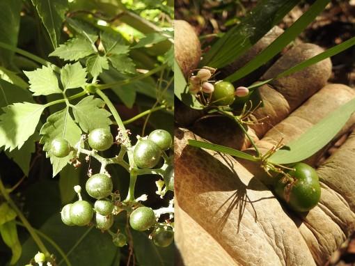 slender-grape-wombat-berry-29-nov-2016
