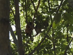 Ringtail family - 27 May 2017