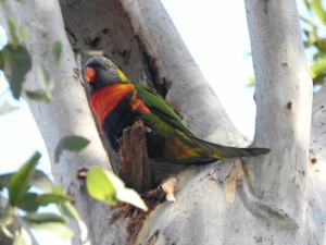 Rainbow Lorikeet - 22 July 2017 low res