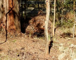 Compost pile Creeping Lantan - 15 Aug 2017 lr