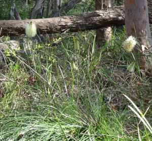 Bottle Brush Grass Tree - Xanthorrhoea macronema - 1 Nov 2017