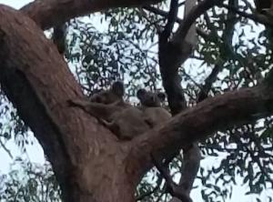 Koala mun and joey on branch - 29 Oct 2017