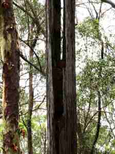 Ringtail Possum nest in dead tree - 10 Nov 2017 lowres