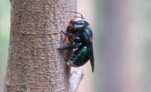 Green Carpenter Bee - Xylocopa (Lestis) aeratus - 31 Jan 2018 cropped