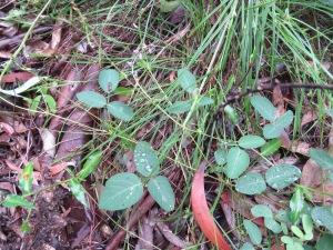 Large Tick-trefoil - Desmodiumbrachypodum - leaf - 26 Mar 2018
