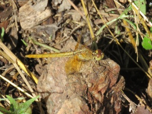 Black-headed Skimmer Dragonfly - Crocothemis nigrifrons - 24 Apr 2018 cropped