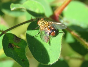 Brown Bush Fly - Musca terraereginae - 24 Apr 2018 cropped