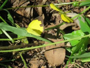 Large Grass Yellow - Eurema hecabe - 24 Apr 2018 lr