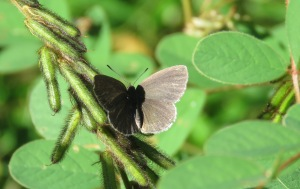 Small Dusky Blue - Candalides erinus - 24 Ap[r 2018 cropped