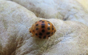26-spotted Potato Ladybird - Epilachna vigintisexpunctata - 14 May 2018