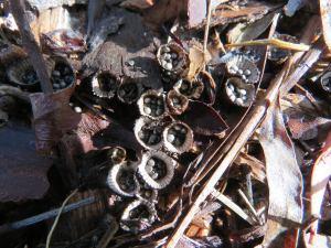 Bird's Nest Fungi - Cyathus novaezelandiae - 29 May 2018 -lr