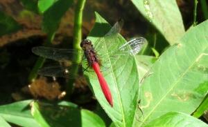 Fiery Skimmer Dragonfly - Orthetrum villosovittatum - 18 May 2018