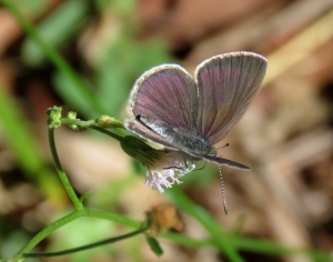 Small Dusky Blue - Candalides erinus - topside - 10 May 2018