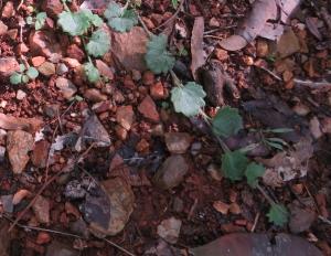 Star Goodenia - Goodenia rotundifolia - 29 May 2018 cropped