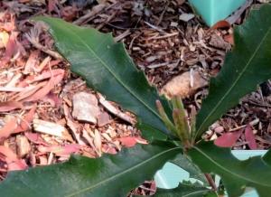 Costal Banksia - Banksia integrifolia - 1 Oct 2018