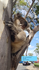 koala - outlook - 5 jan 2019