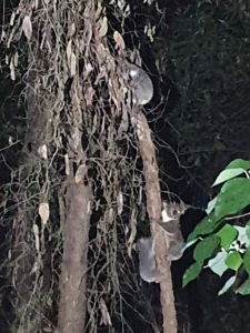 koalas - firefly gully - 29 dec 2019 - three in one
