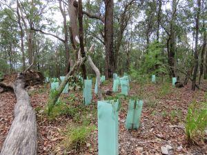 Brisbane Fringed Wattle - Acacia fimbriata - 5 Feb 2019 lowres
