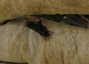 Black Woodland Cockroach - Platyzosteria melanaria - 23 March 2019