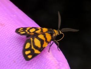 Lydia Lichen Moth - Asura lydia - 3 March 2019